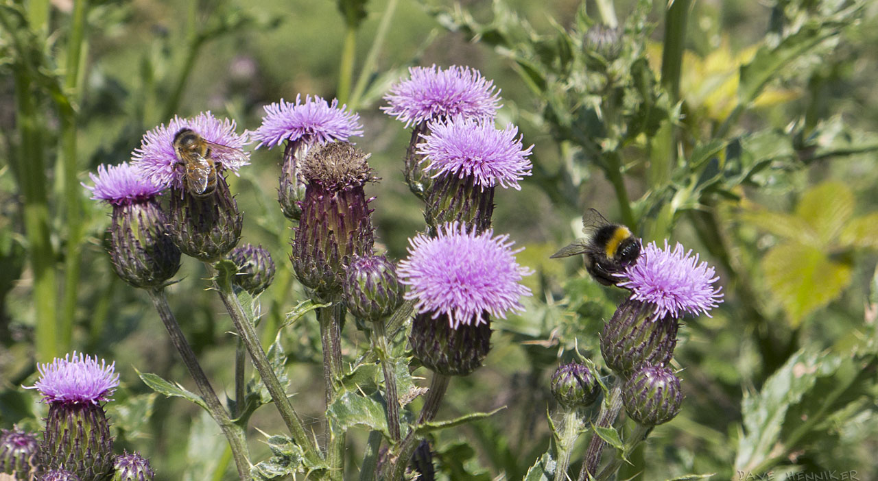 Braid_path_thistles_bees