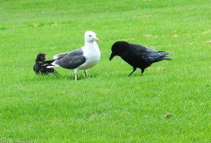 Crows_Gull