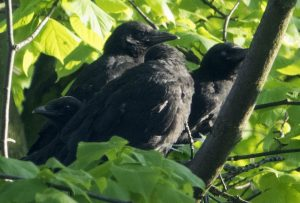crows2016May(_f)