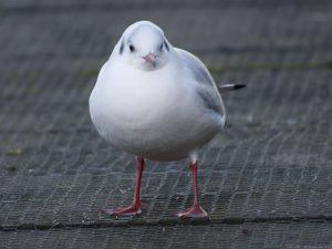 gull01