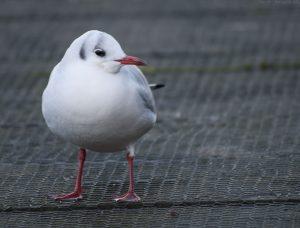 gull02