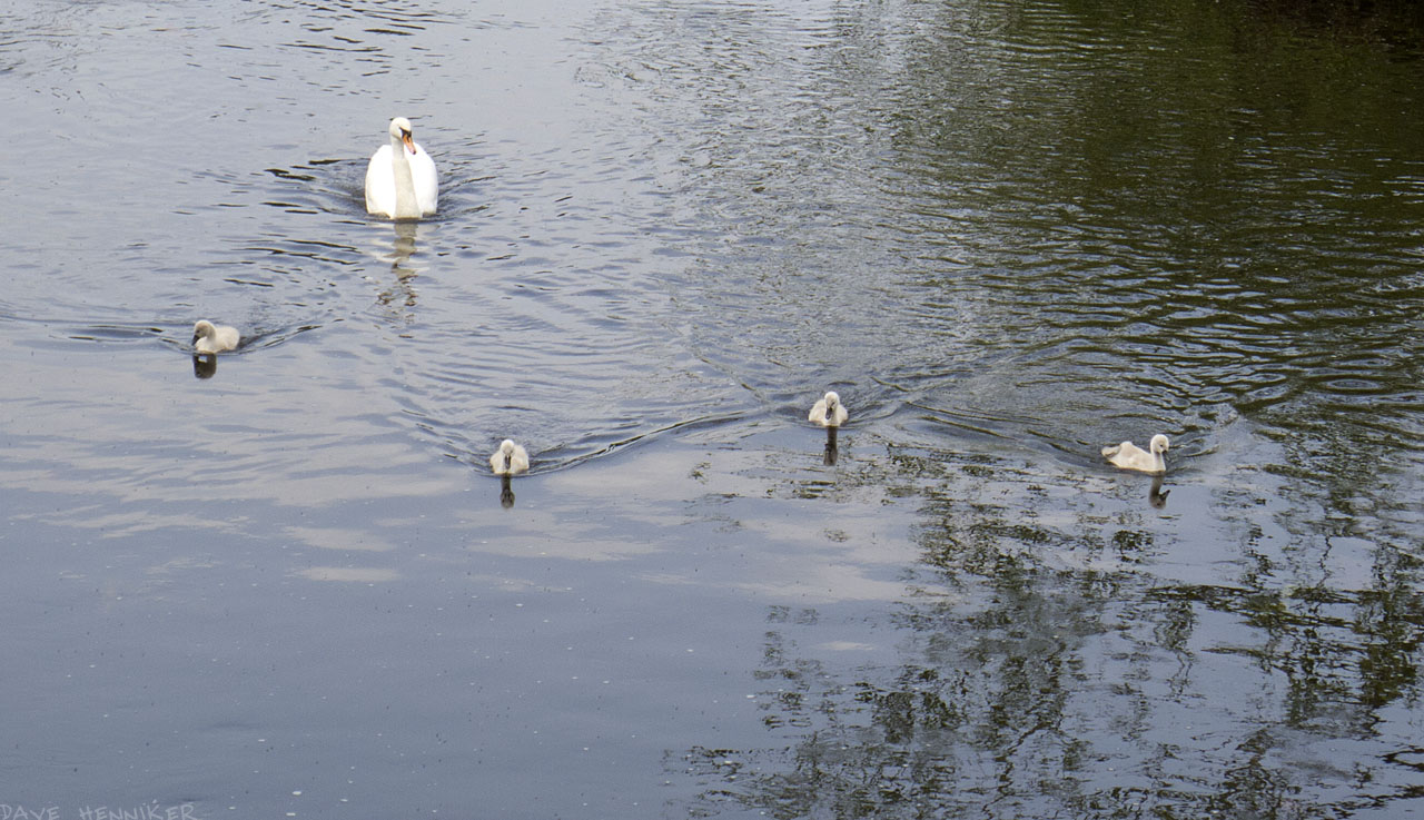 murrayfield14-swans