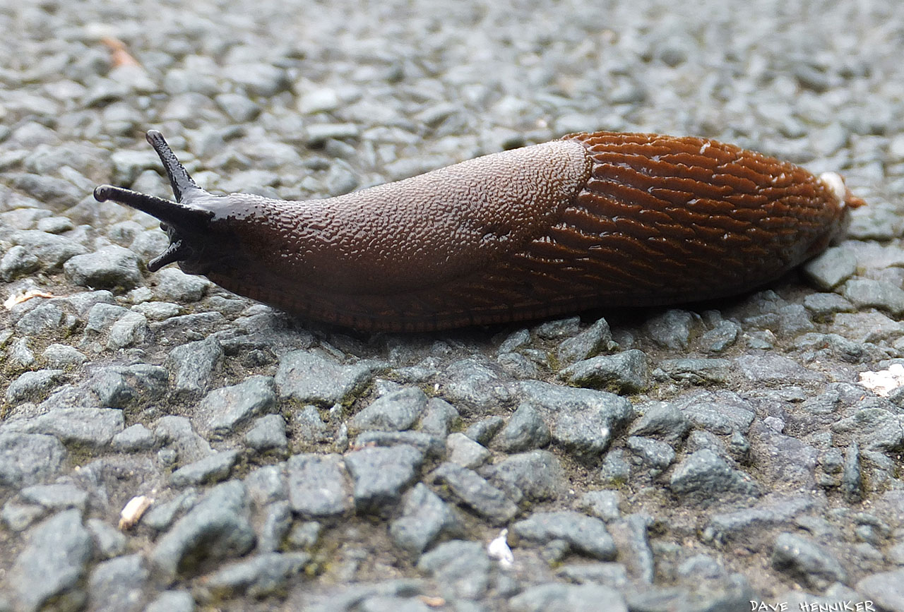 Brown_Slug