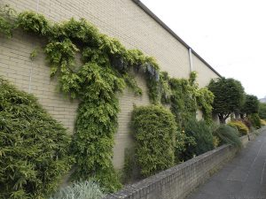Attractive greenery along the side of a building in Burlington Street.