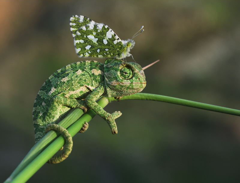 ChameleonButterfly