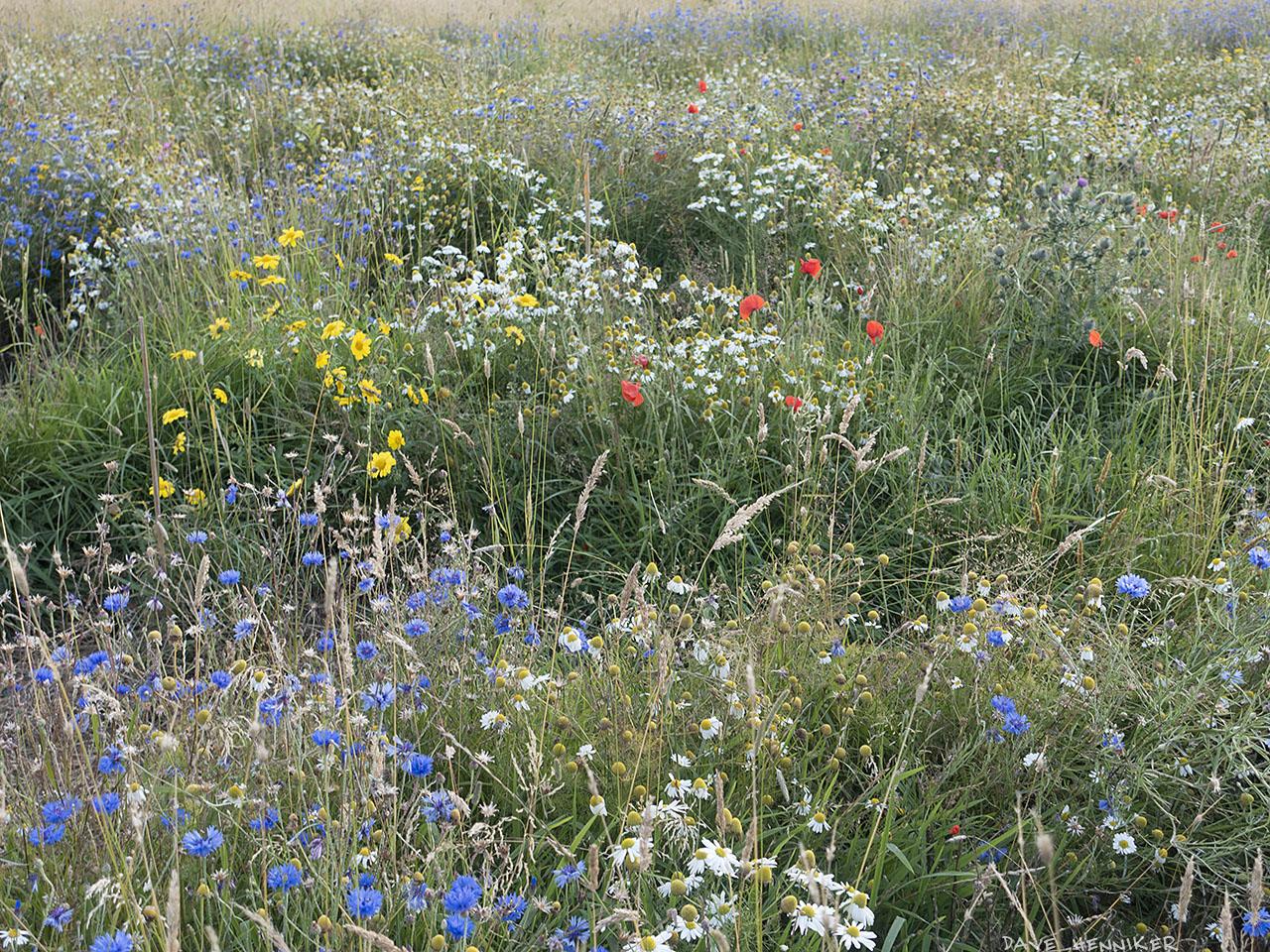 Dreghorn-Bonaly_FlowerMeadow