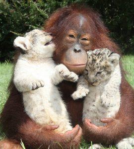 Orangutan-LionCubs