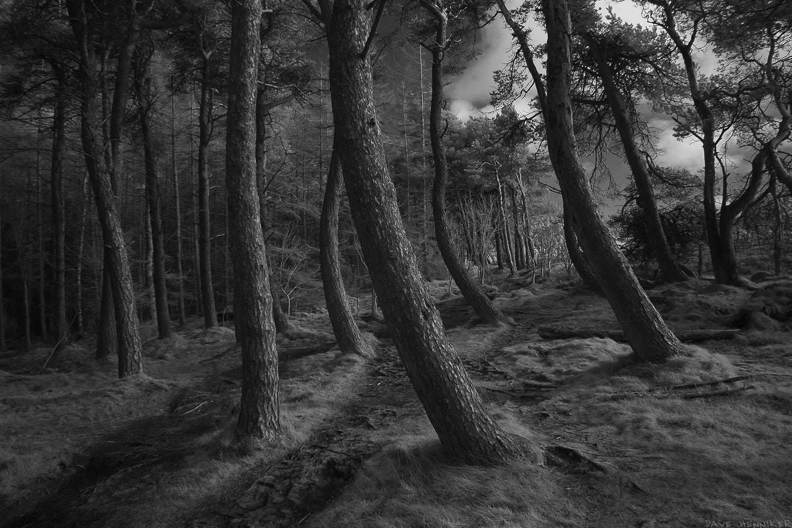 Torduff_path10ScotsPines_ir
