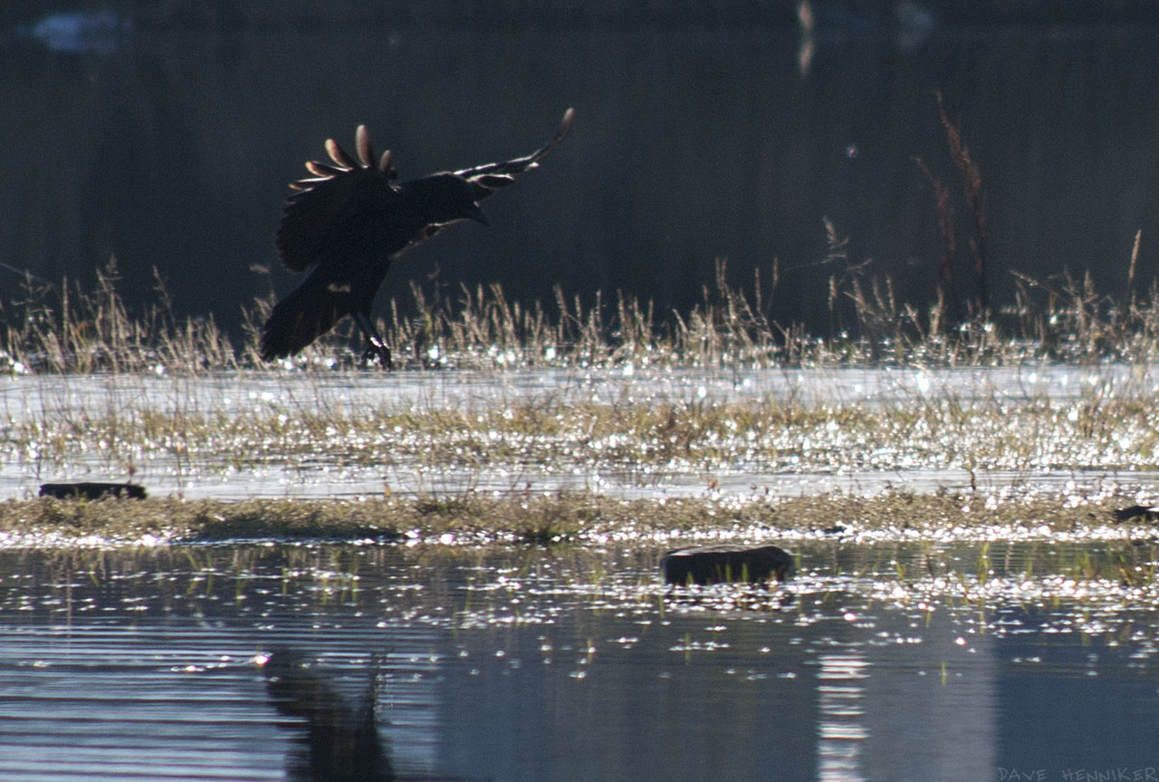 A crow lands on a rock in the water.