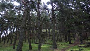 WhitehillTrees13