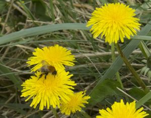 bee-dandelion