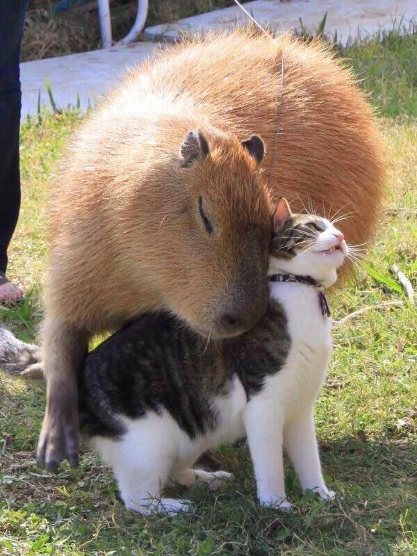capybara_cat