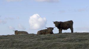 cows2011a