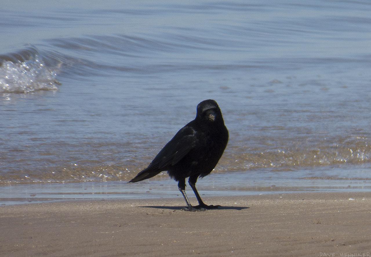 crow02