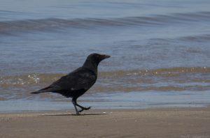 crow03