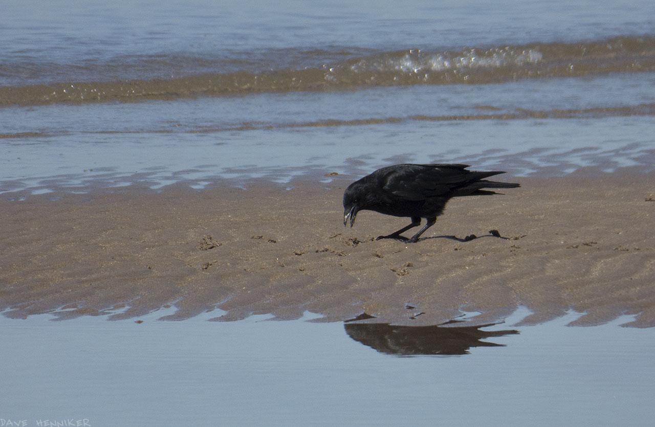 crow05