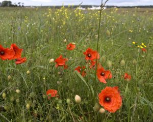 dirleton2yellowcraigs_poppies2