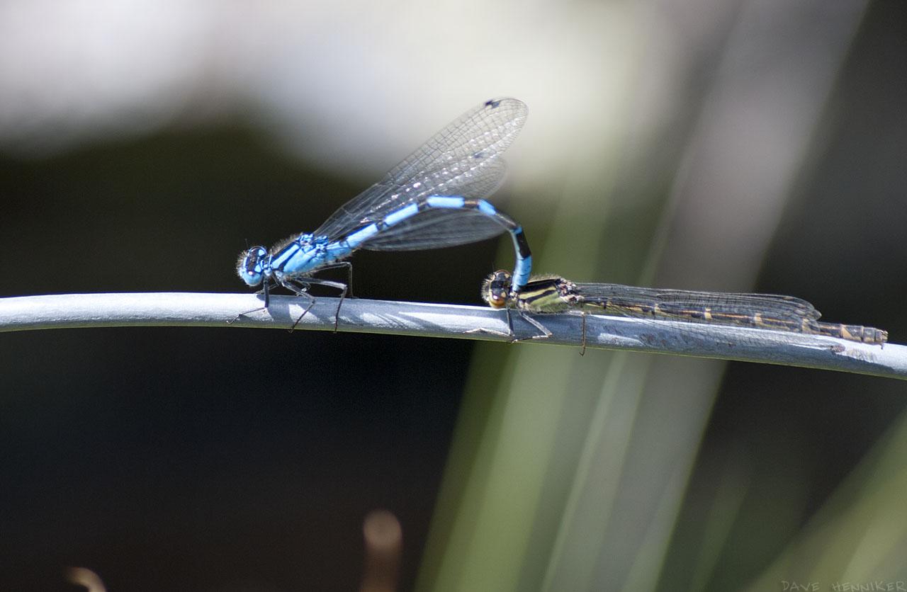dragonflies03