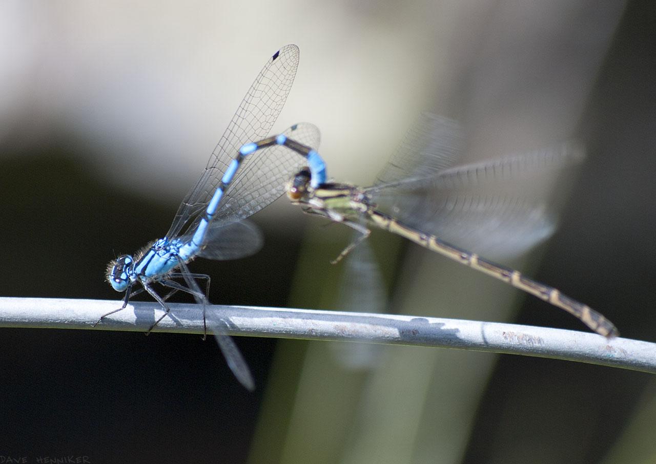 dragonflies04
