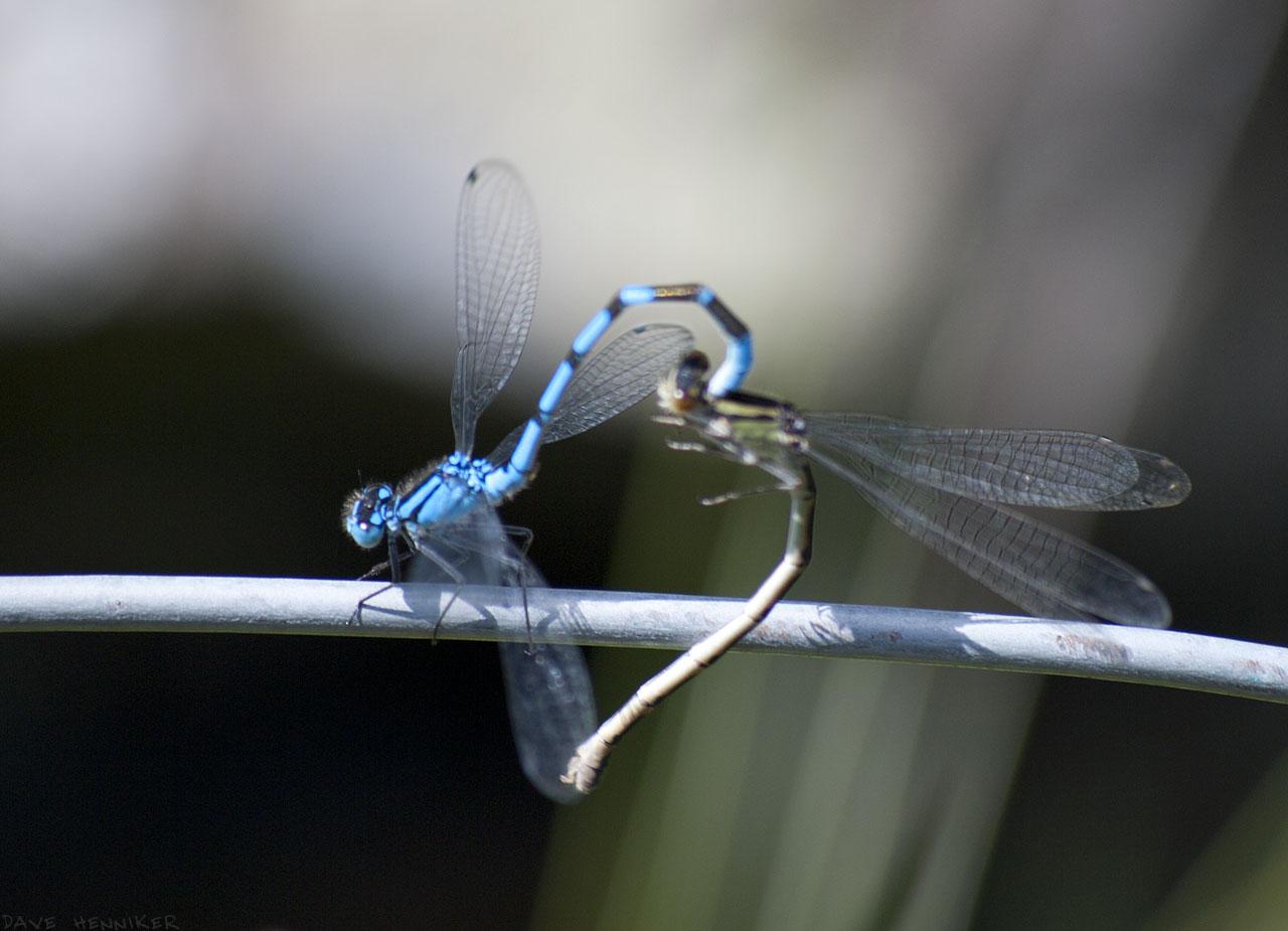 dragonflies05