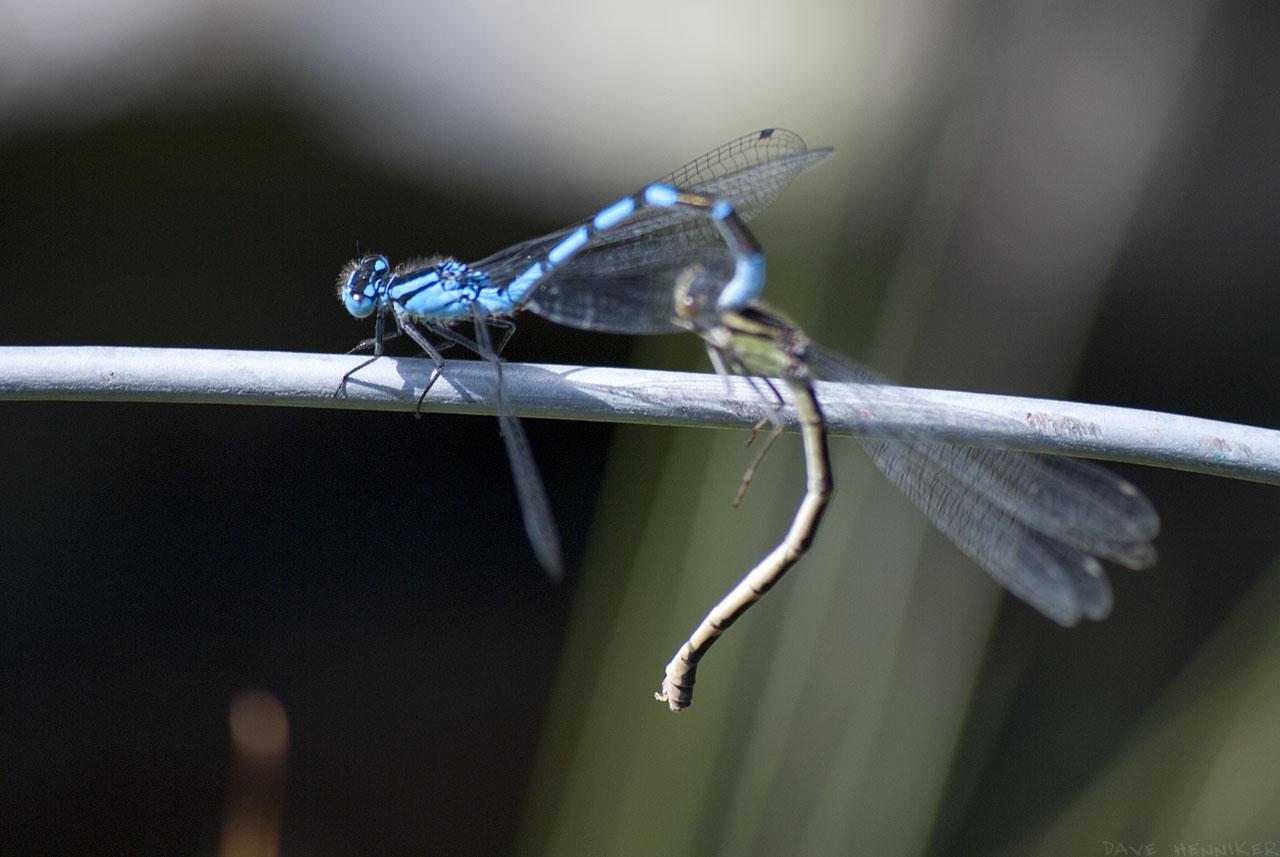 dragonflies06