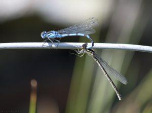 dragonflies07