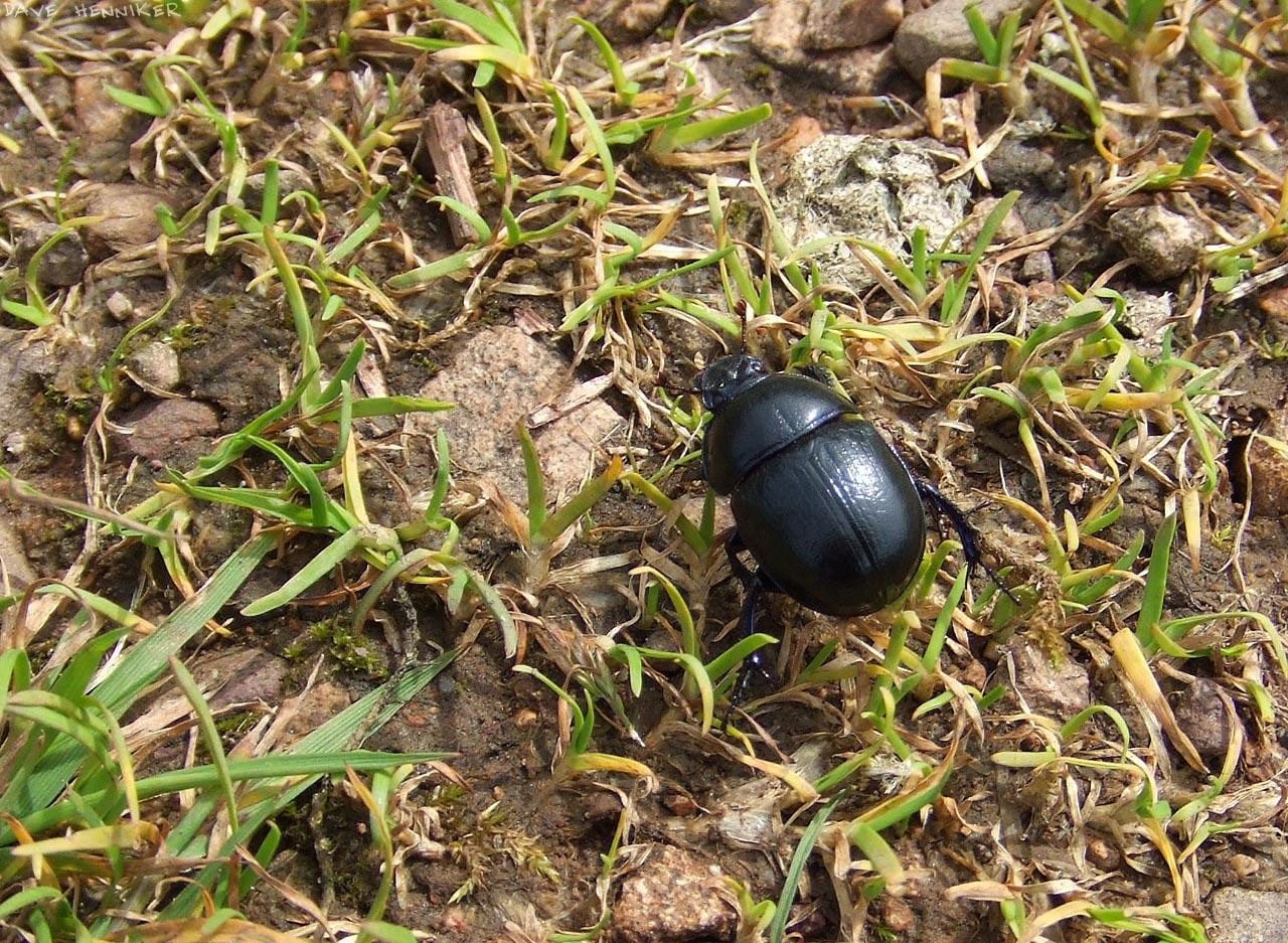 kirk-rd_beetle
