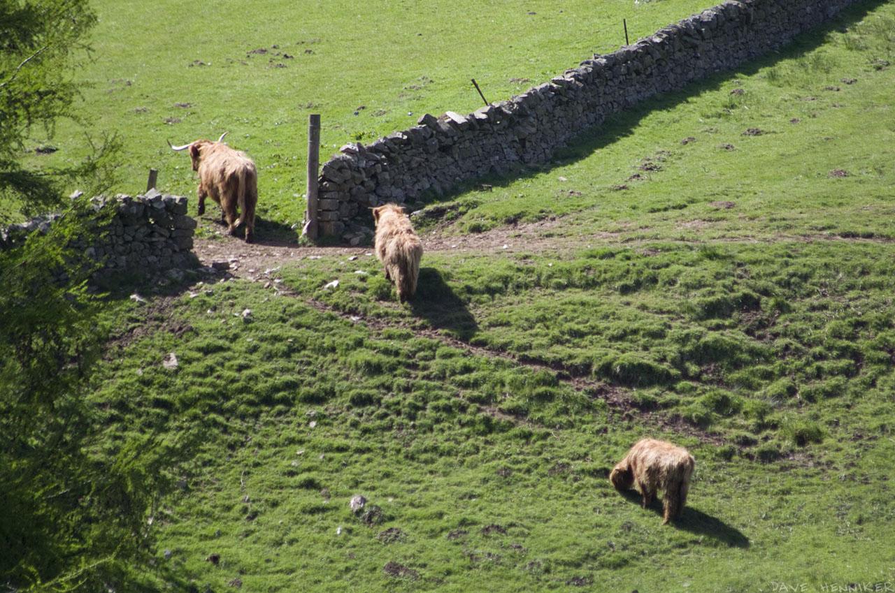 kirkton_cows