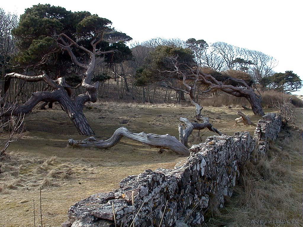 scots-pines010306-1345
