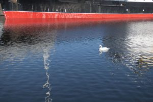 A swan sailed into the scene in Albert Dock.