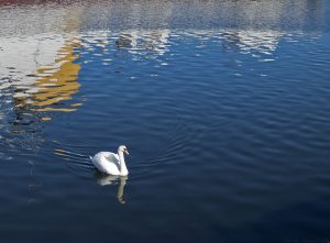Two swans appeared when they noticed me.