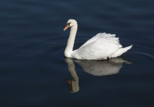 I had no scraps to throw to the swans so they sailed away after I got this close up shot.