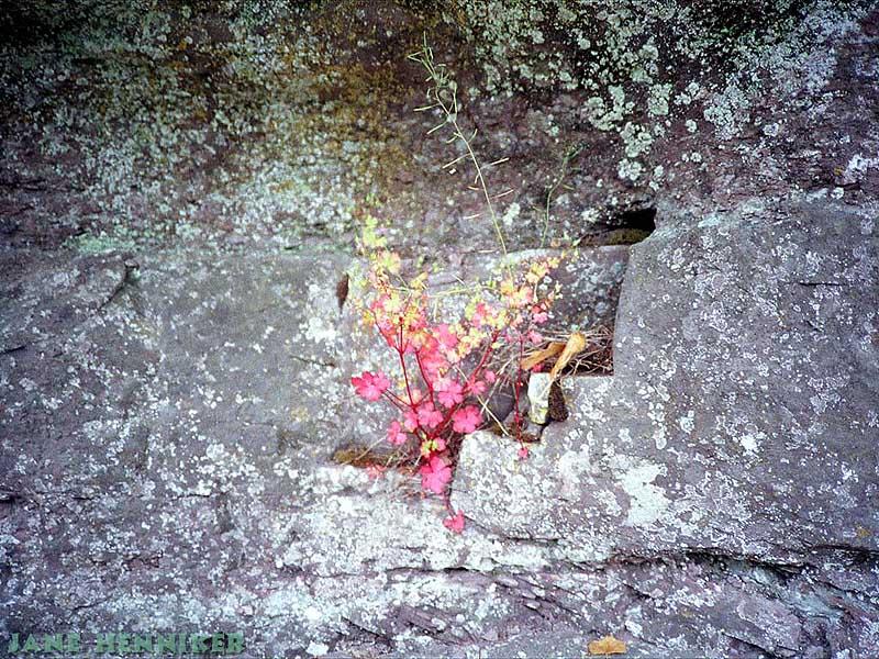 rockflora3