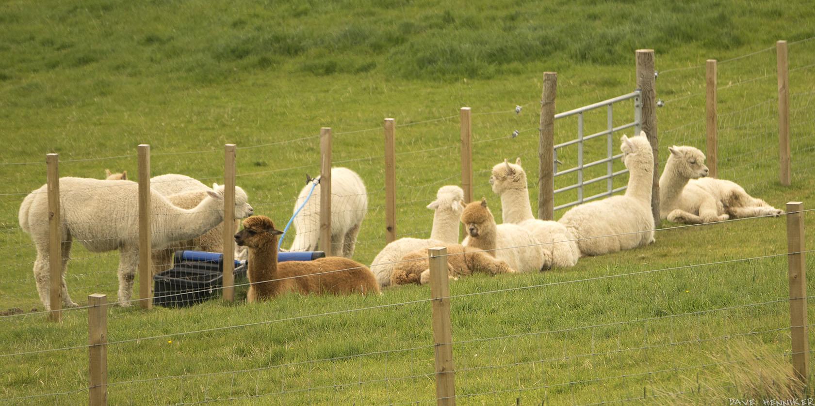 alpacas