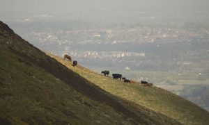 turnhouse_hill_cows