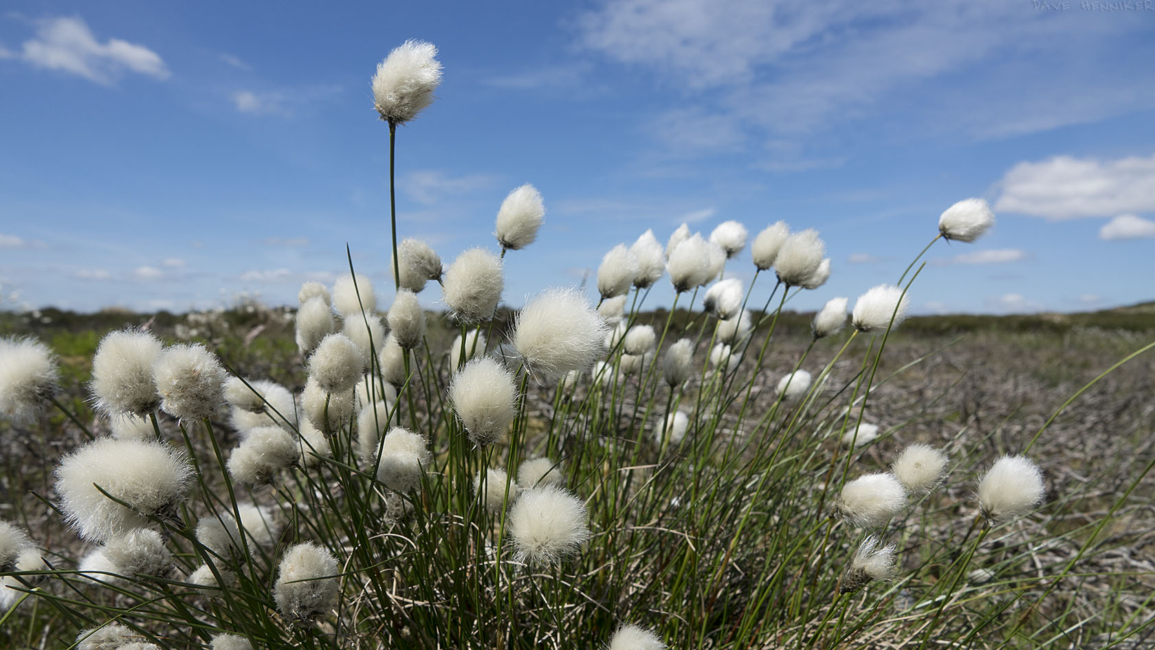 Cottongrass01