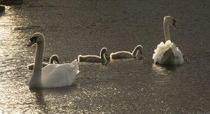 swans02
