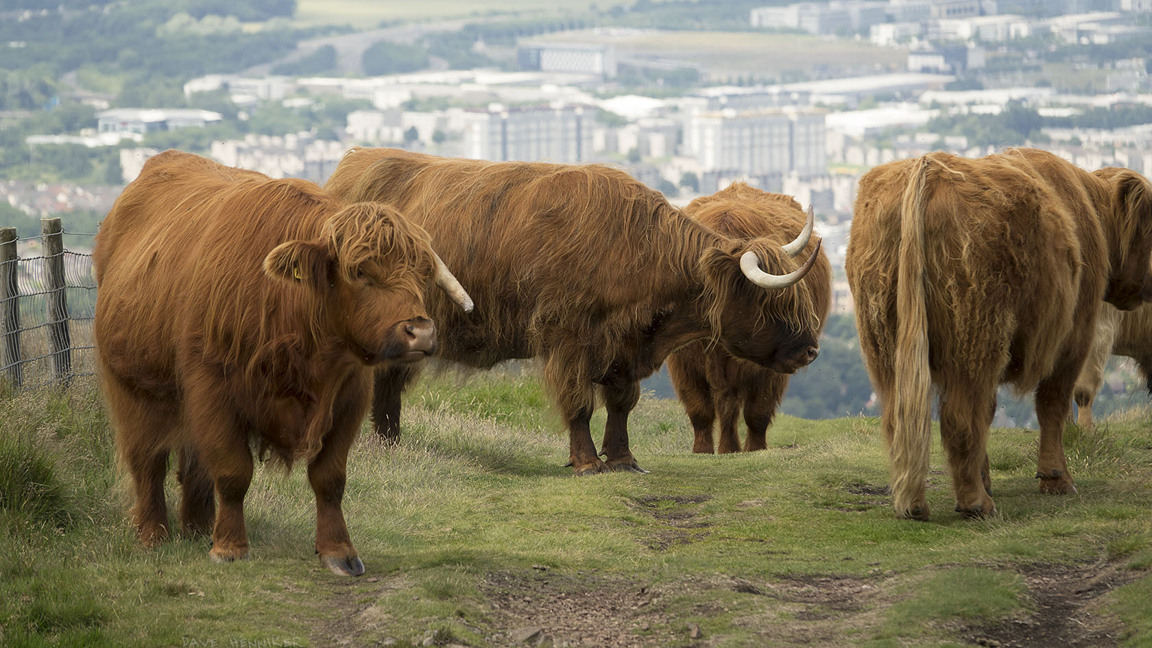 cattle2017July(a)