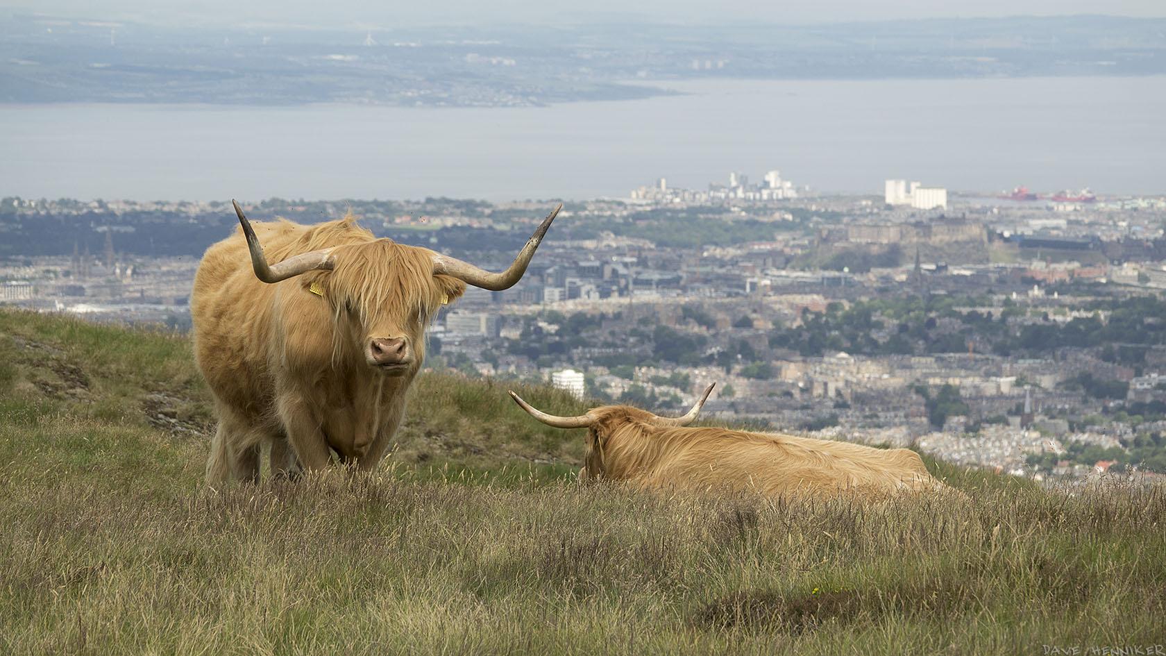 cattle2017July(f)