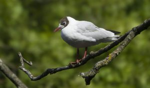 Black headed gulls 03