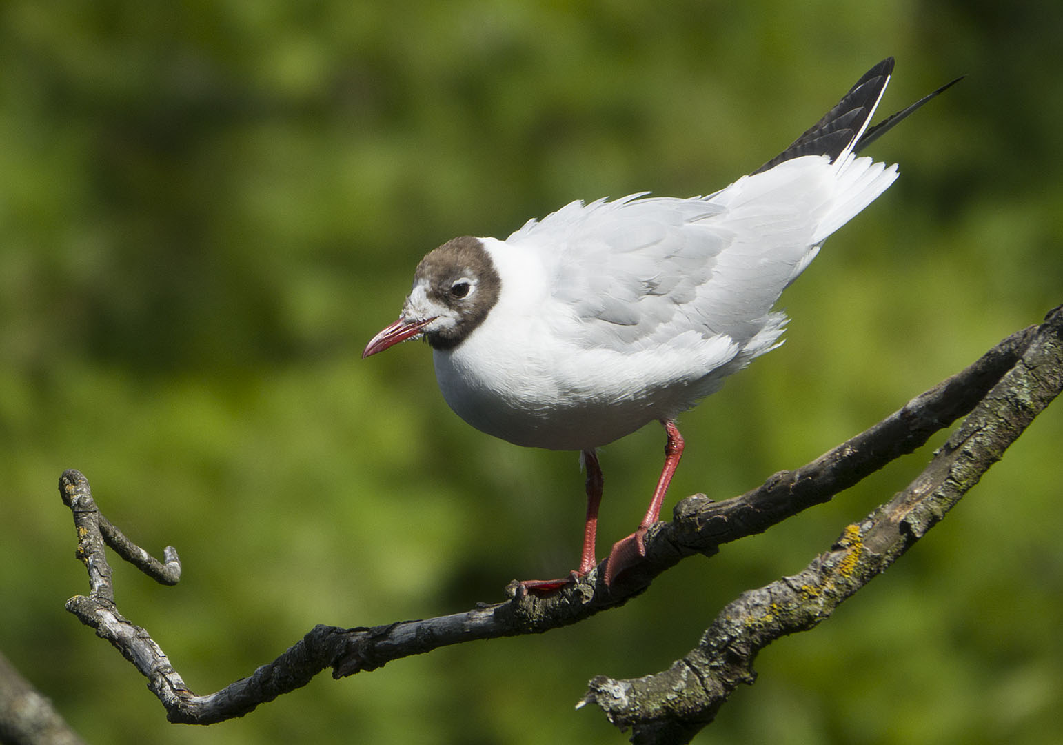 Black headed gulls 04
