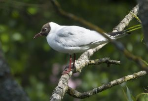 Black headed gulls 05