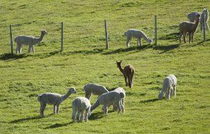 alpacas07