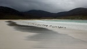 167 Oystercatchers