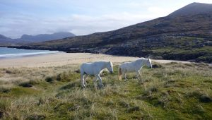 86 White ponies