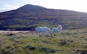 87 White ponies