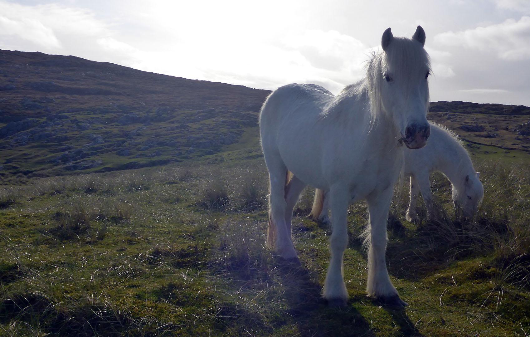 88 White ponies