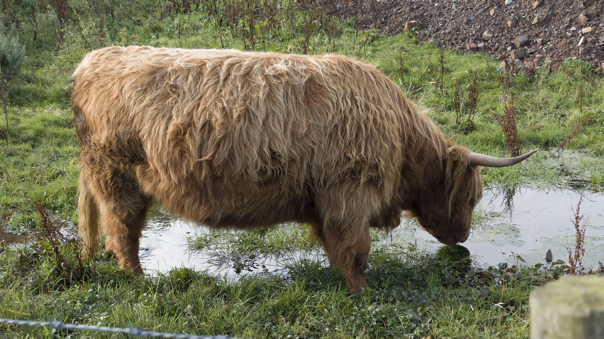 Dreghorn-Swanston(15)cow